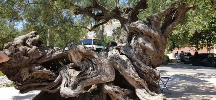 THE OLDEST OLIVE TREE ON THE ISLAND