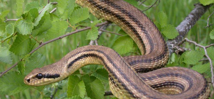 Co łaczy Zakynthosa i dzikie węże?
